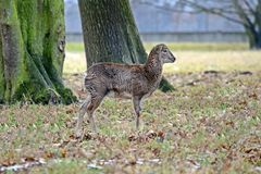 Mouflon en la foto común de Forest Looking Winter Autumn Natural fotos de archivo