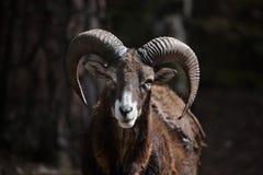 Mouflon européen (musimon d'orientalis d'Ovis) Photographie stock libre de droits