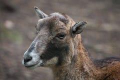 Mouflon européen (musimon d'orientalis d'Ovis) Images libres de droits