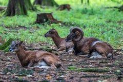 Mouflon europeo, musimon de los orientalis del Ovis Animal de la fauna foto de archivo