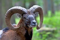 Mouflon europeo, musimon de los orientalis del Ovis Animal de la fauna imagen de archivo