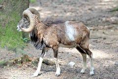 Mouflon europeo, musimon de los orientalis del Ovis Animal de la fauna imágenes de archivo libres de regalías