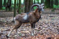 Mouflon europeo, musimon de los orientalis del Ovis Animal de la fauna imagen de archivo libre de regalías