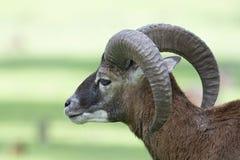 Mouflon europeo - Ovis - musimon de los orientalis foto de archivo libre de regalías