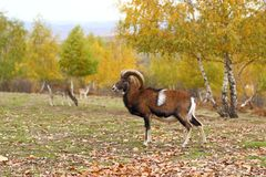 Mouflon in fall season Royalty Free Stock Photography