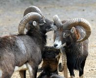 Mouflon family Stock Photography