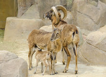 Mouflon family. Baby with mom Royalty Free Stock Photos