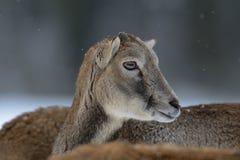 Mouflon female head portrait, winter. Mouflon female head portrait,  winter, ovis aries Royalty Free Stock Photos
