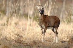Mouflon female Stock Image