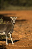 Mouflon Royalty Free Stock Image