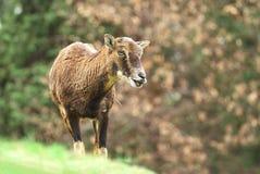 Mouflon female Royalty Free Stock Photos