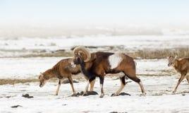 Mouflon herd Stock Image