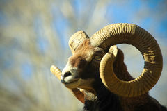 Mouflon horns Royalty Free Stock Photos