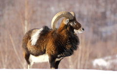 Mouflon hunting Stock Photo