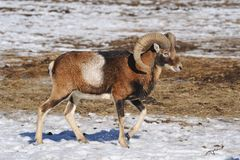 Mouflon im Winter Stockfotografie