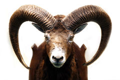Mouflon jakttrofé som isoleras på vit bakgrund Arkivbild