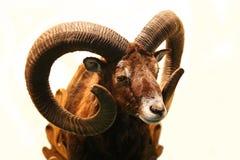 Mouflon jakttrofé som isoleras på vit bakgrund Royaltyfri Bild