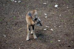 Mouflon joven lindo imagen de archivo