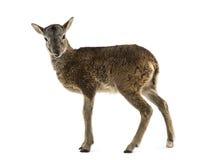Mouflon joven - orientalis de los orientalis del Ovis Foto de archivo libre de regalías