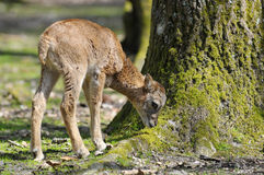 Mouflon juvenil de Córsega fotos de stock royalty free