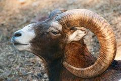 Mouflon Kopf Stockfotografie