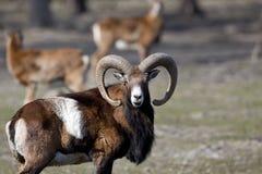 Mouflon looking at camera Royalty Free Stock Images