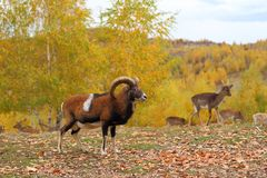 Mouflon male and fallow deers Stock Photo