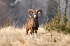 Mouflon male Royalty Free Stock Image