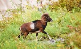 Beautiful male muflon Royalty Free Stock Images
