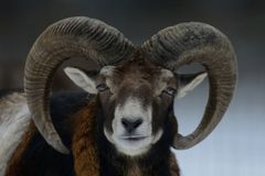 Mouflon male in the winter Stock Images