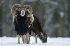 Mouflon male in the winter Royalty Free Stock Photography
