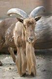 Mouflon masculino imágenes de archivo libres de regalías