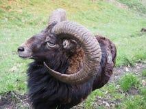 Mouflon. Meeting with wild animal, mouflon sheep Stock Photography