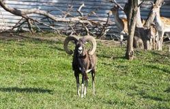 Mouflon (musimon d'ovis) Photos stock