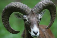 mouflon musimon ovis 库存照片