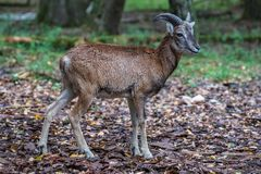 欧洲mouflon,羊属orientalis musimon 野生生物动物 免版税库存图片