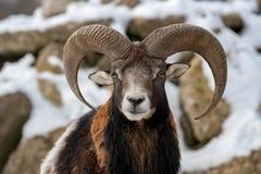 Mouflon, orientalis Ovis, δασικό κερασφόρο ζώο στο βιότοπο φύσης Στοκ Φωτογραφία