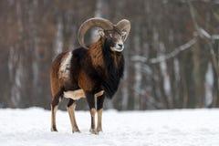 Mouflon, orientalis Ovis, δασικό κερασφόρο ζώο στο βιότοπο φύσης Στοκ Φωτογραφίες