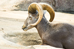 Mouflon ou moutons de montagne sauvages Photo stock