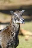 Mouflon, ovis aries Stock Images