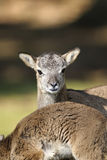 Mouflon, ovis aries Stock Photos