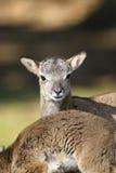 Mouflon, ovis aries Stock Photos