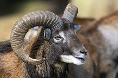 Mouflon, ovis aries Royalty Free Stock Image