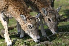 Mouflon, ovis aries Royalty Free Stock Photography