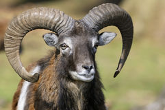 Mouflon, ovis aries. Billy goat showing teeth stock image