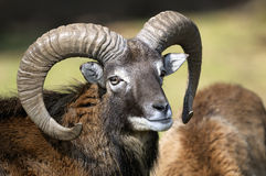 Mouflon, ovis aries Royalty Free Stock Image