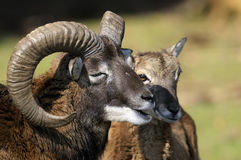 Mouflon, ovis aries. Bleating at you stock images
