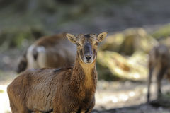 Mouflon, ovis aries Royalty Free Stock Images