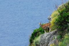 Mouflon Ovis aries Stock Images