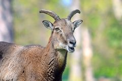Mouflon Ovis Aries Musimon Closeup royalty-vrije stock foto